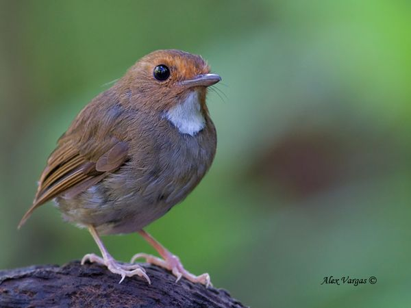 Rufous Browed Flycatcher (Anthipes solitaris)