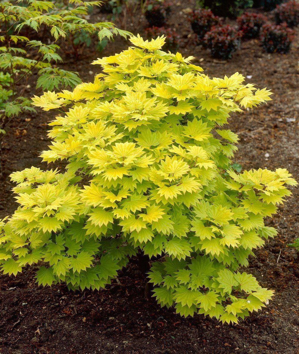 Acer Shirasawanum Aureum Golden Leaf Full Moon Japanese Maple