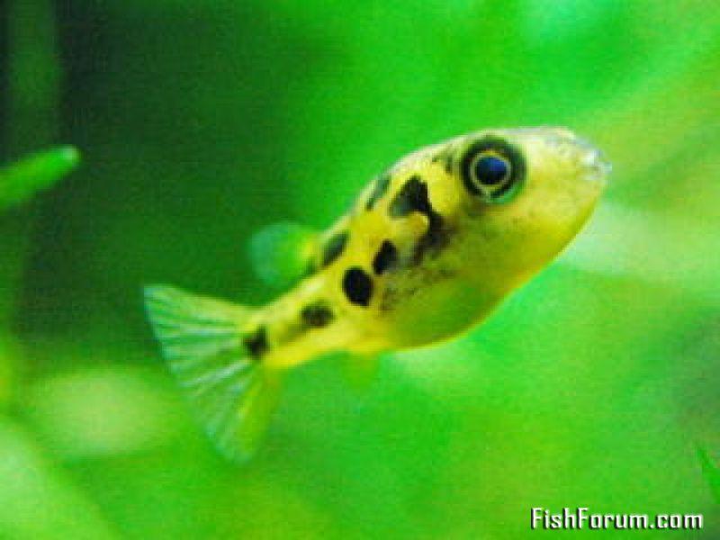 Dwarf Puffer Carinotetraodon Travancoricus Profile Dwarf Puffer Fish Fish Tropical Fish
