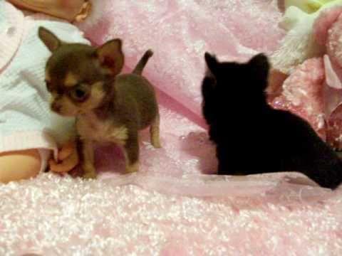 Munchkinland Chihuahua Puppies Chihuahua Puppies Chihuahua