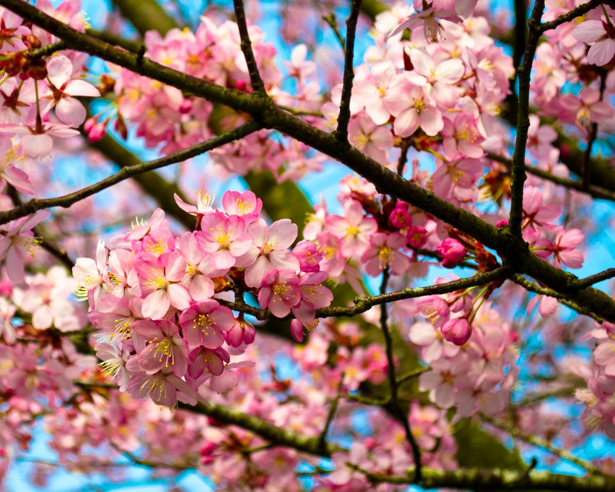 Cherry Trees Daffodils And Bluebells Japanese Cherry Tree Cherry Tree Seasonal Photography