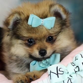 Teacup Puppies Store Luxury Puppy Boutique Supplies And Accessories