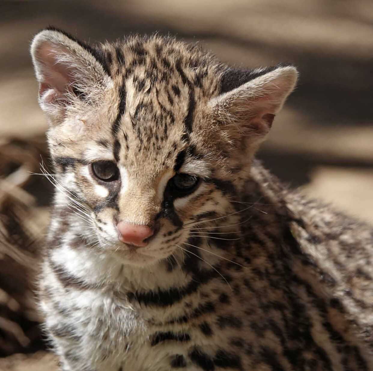 An Ocelot Kitten At L A Zoo Animals Animals And Pets Cats