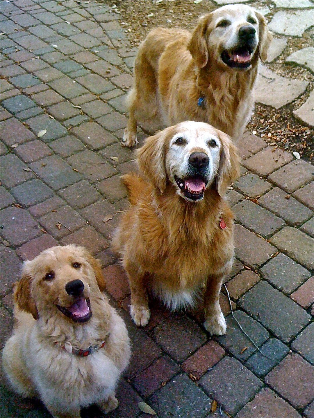 Golden Retrievers Young And Old Golden Retriever Retriever Dog