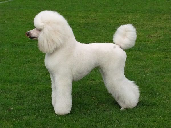Pin On Poodle Hair Cuts