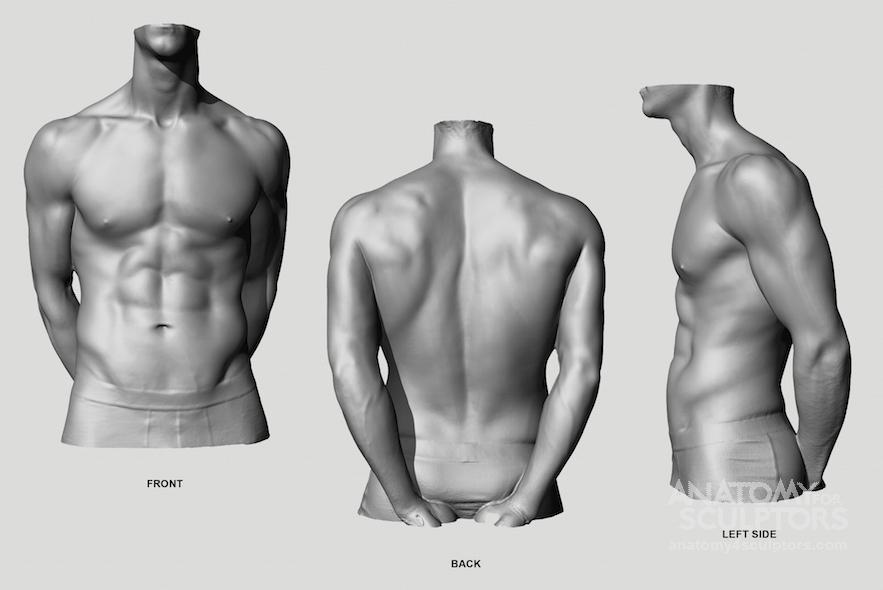 Anatomy Next - Anatomy: - Torso: Proportions   Human Anatomy   Pinterest