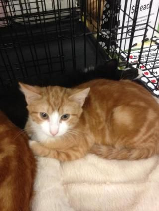 Romeo - Hawthorne, NJ from of Homeless Animals (rescue)