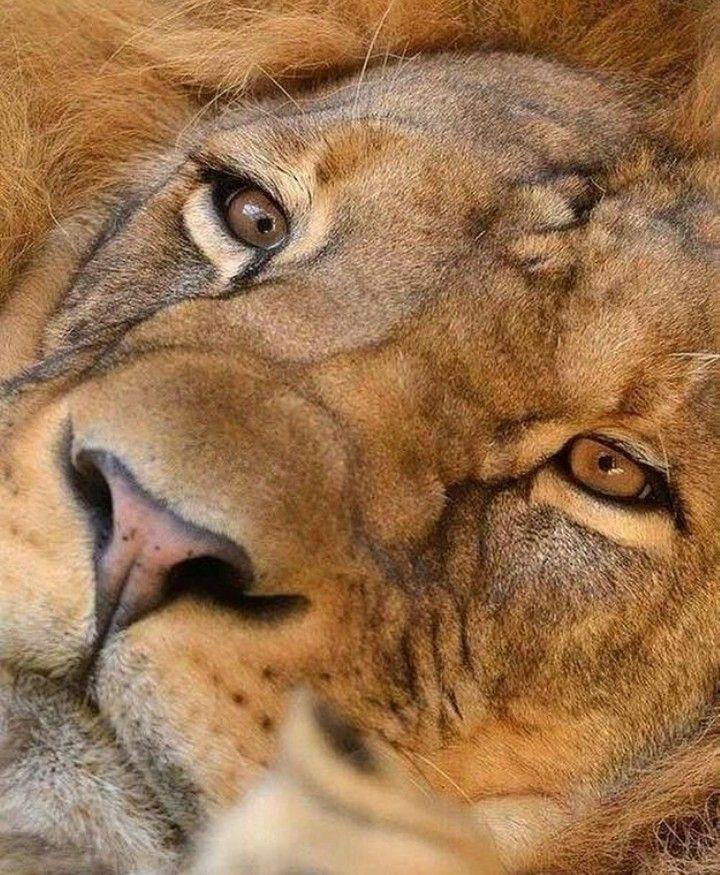 Pin Von Olga Dugina Auf Lion Haustiere Kaufen Wilde Tiere Grosse Katzen