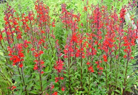 Lobelia Speciosa Compliment Scarlet Premium Perennials Garden