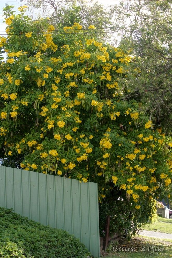 Tecoma stans yellow trumpet bush plants garden yard tecoma stans yellow trumpet bush plants garden yard pinterest trumpets shrub and plants mightylinksfo