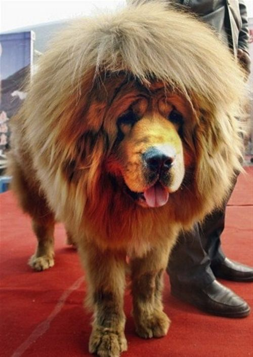 Cool Fact Tibetan Mastiffs Have Great Hair And They Clean Up