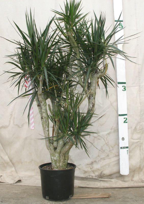 Providing Tree And Plant Care: Dracaena Marginata Care Instructions