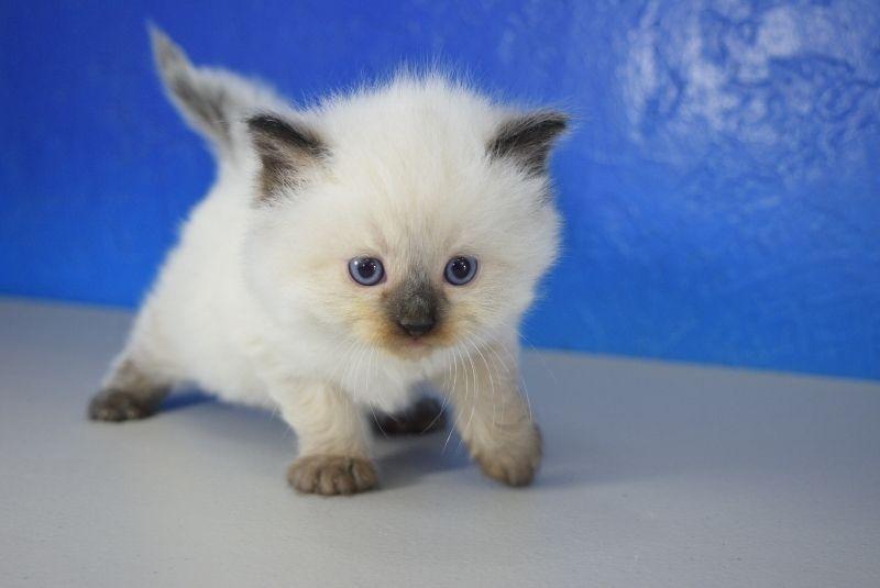 Sven Seal Point Male Ragdoll Kitten Ragdoll Cat Cuddly