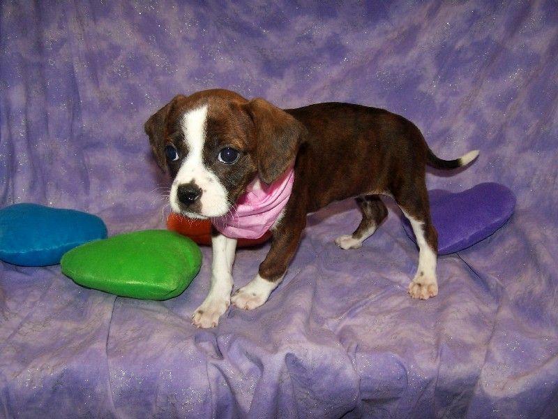 Boggle Boston Terrier Beagle Mix Beagle Mix Beagle Terrier