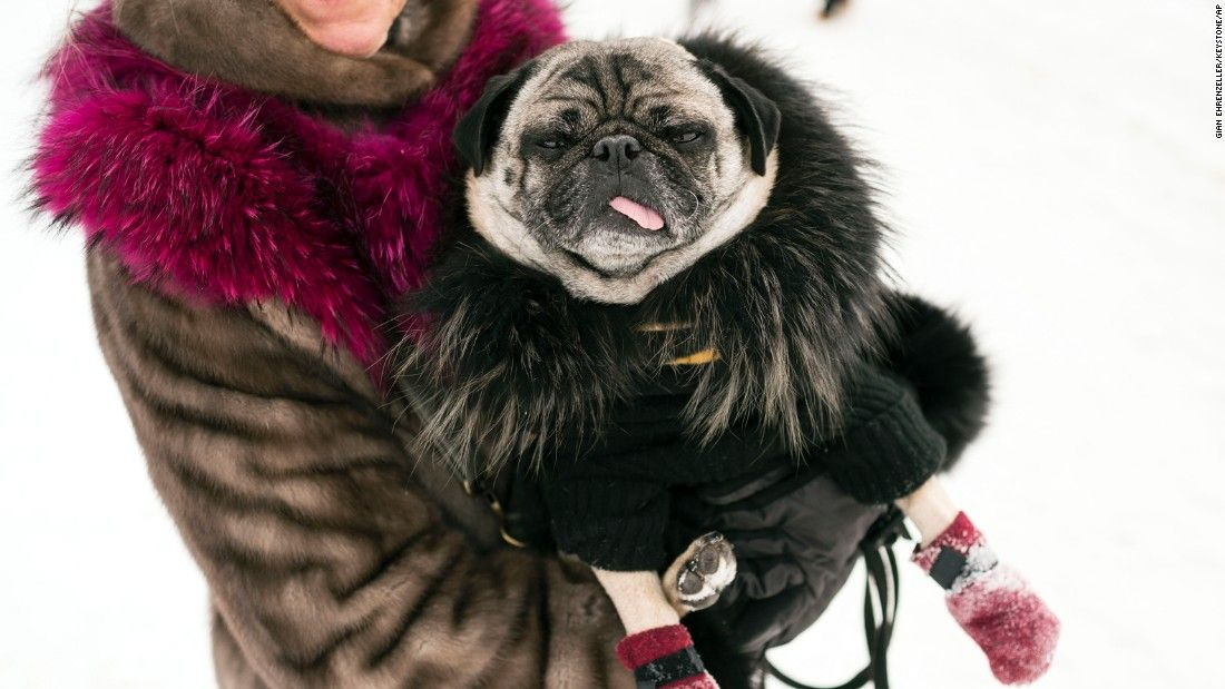 Charlie The Pug Wearing A Coat And Cashmere Sweater During The