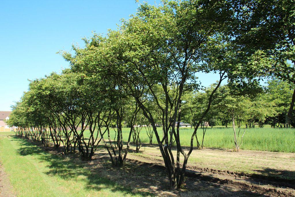 Wonderbaar Amelanchier lamarckii (meerstammig), Krenteboompje, sterke plant IW-76
