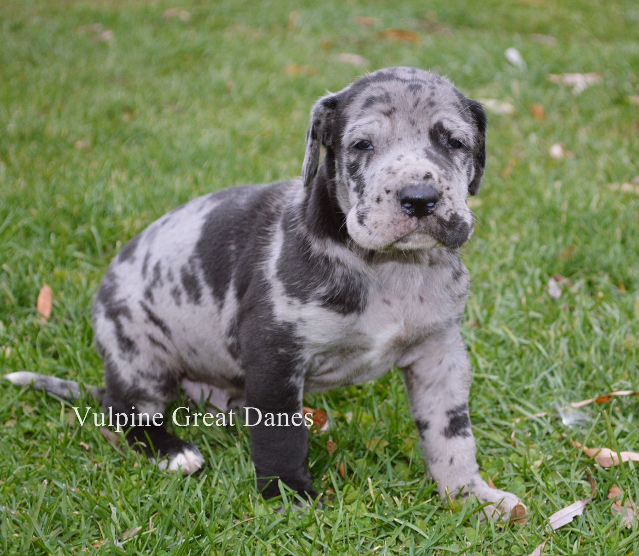 Beautiful Merle Great Dane Male Puppy Great Dane Puppy Puppies