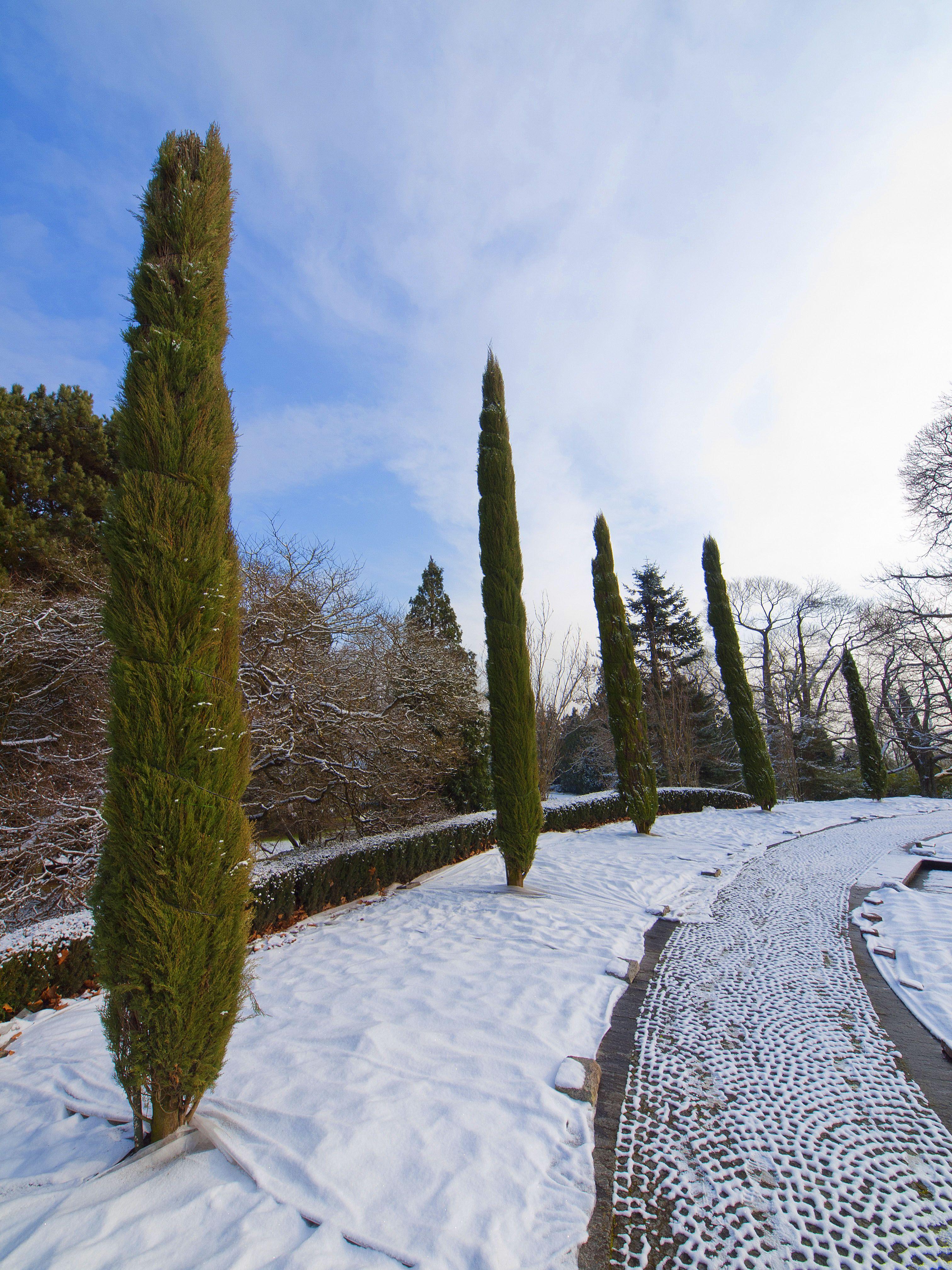 Zypressen im Schnee auf der Insel Mainau. Winterzeit am Bodensee ...