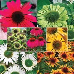 Coneflowers - Ultimate Coneflower Collection