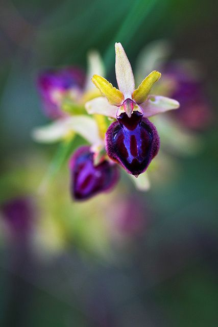 Spider Orchid Ophrys sphegodes. Look at the colours, looks like a Barça flower :)