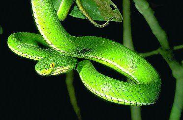 Trimeresurus erythrurus Cantor, 1839
