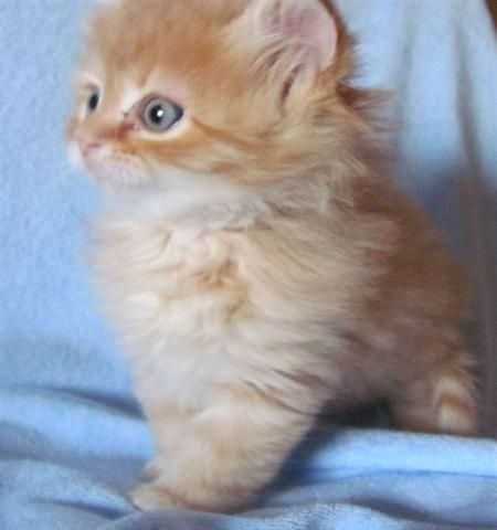 Orange Tabby Siberian Kitten 750 00 Siberian Cats For