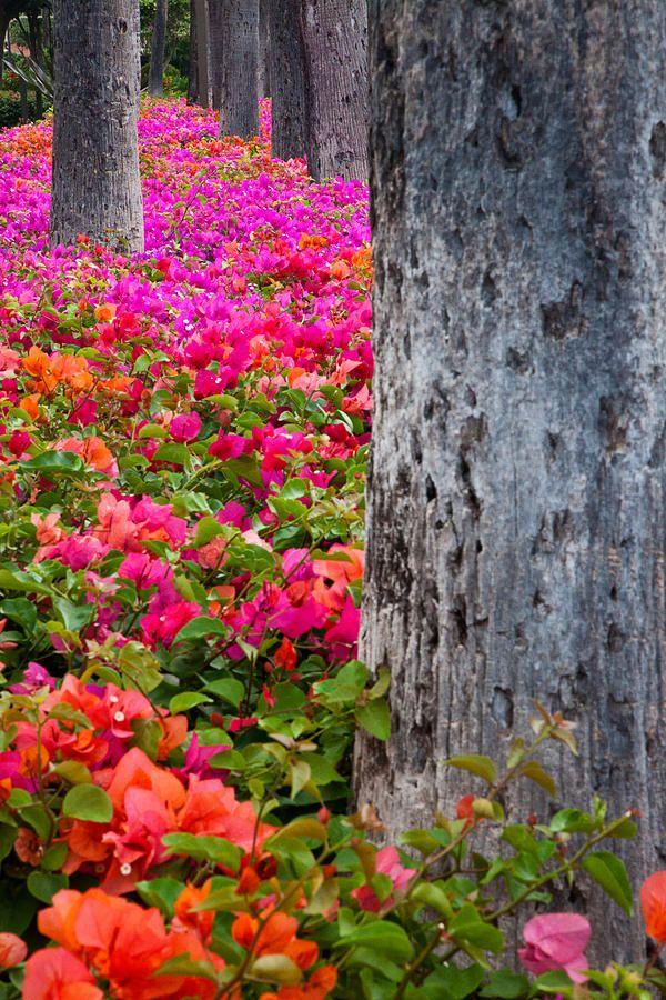 ✮ Hawaii, Maui - Colorful Bougainvillea on park grounds in Maui