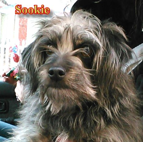 Meet Sookie She S A Two Year Old Chipoo A Chipoo Is A Cross
