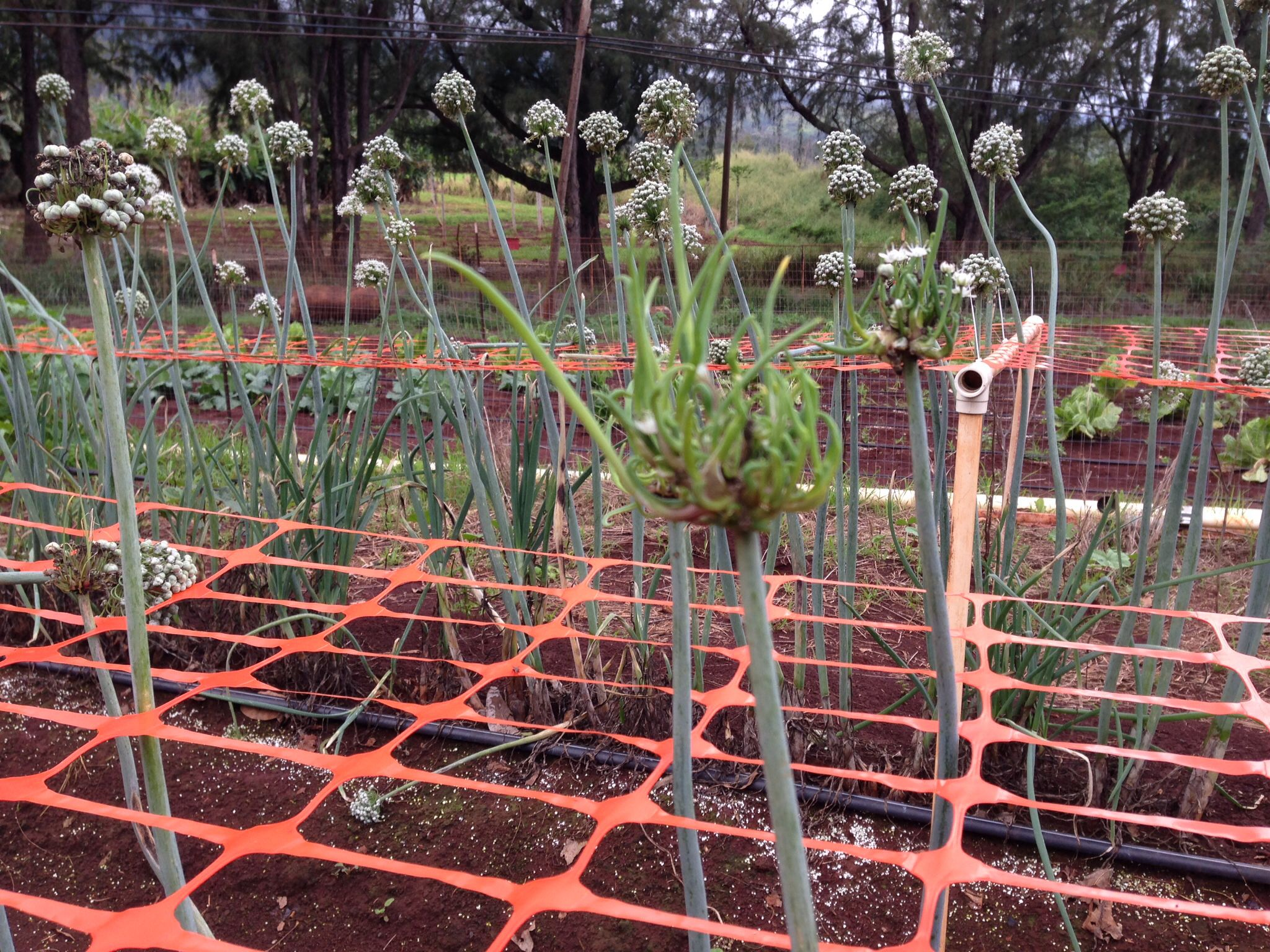 Onion germinate plants outdoor structures