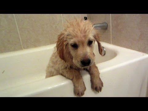 Golden Retriever Puppy S First Bath Cooper 11 Weeks Old