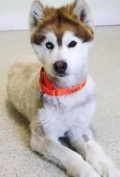 Scooter Is An Adoptable Siberian Husky Dog In East Montpelier Vt