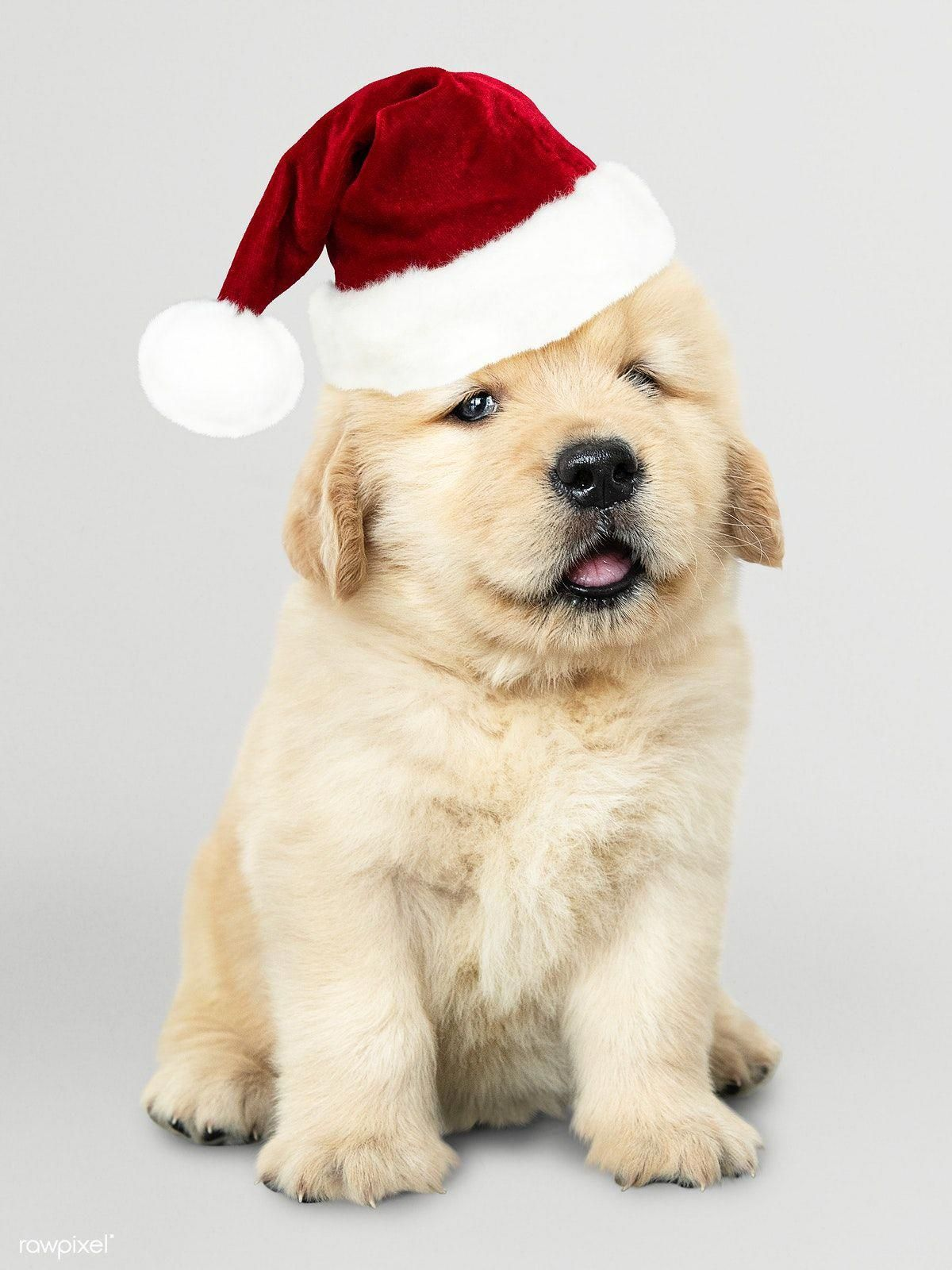 Find Out More On The Friendly Golden Retriever Puppies