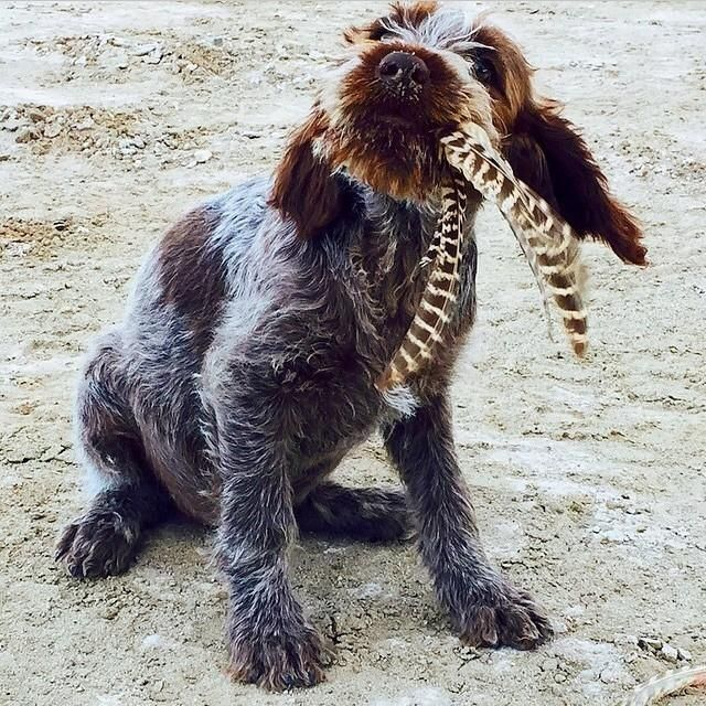 Wirehaired Pointing Griffon Bird Dogs Griffon Dog Hunting Dogs Training