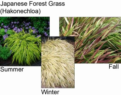 Japanese Forest Grass  Ornamental Grasses