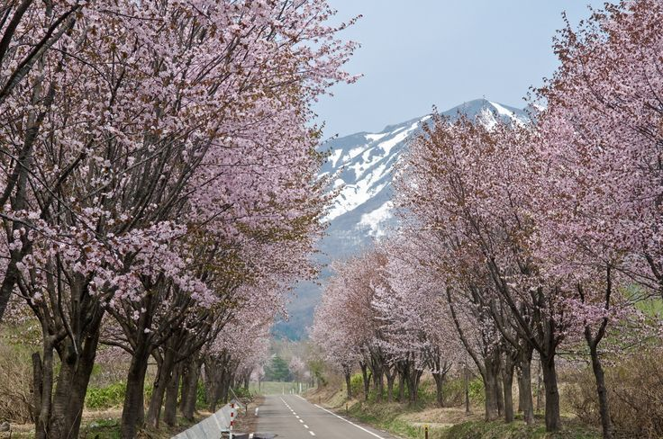 """Do you really know the meaning of """"Sakura"""", a Japanese word which has even b... Do you really know the meaning of """"Sakura"""", a Japanese word which has even b...,"""