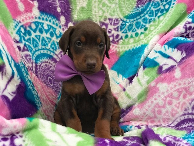 Doberman Pinscher Puppy For Sale In East Earl Pa Adn 66495 On