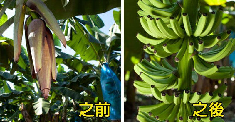 香蕉彎彎的原因