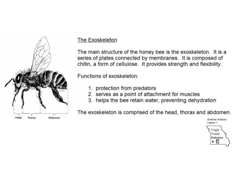 A brief look at the external anatomy of the honey bee. | Mams Bees ...