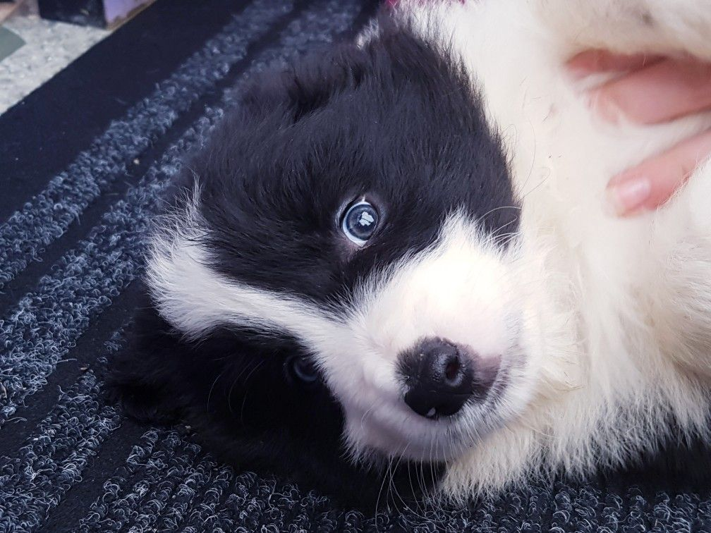 Border Collie Collie Puppies Border Collie Puppies Dogs