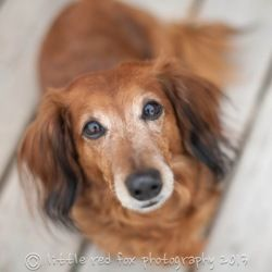 Adopt Luis On Dachshund Dog Snuggles I Am Awesome