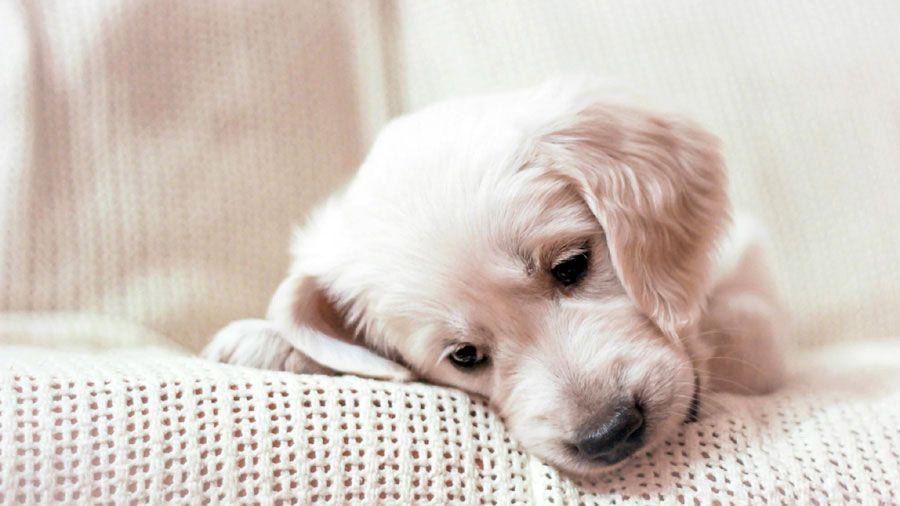 Golden Retriever Puppy Wallpaper Dogs Golden Retriever Cute
