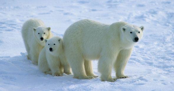 help us celebrate international polar bear day facts