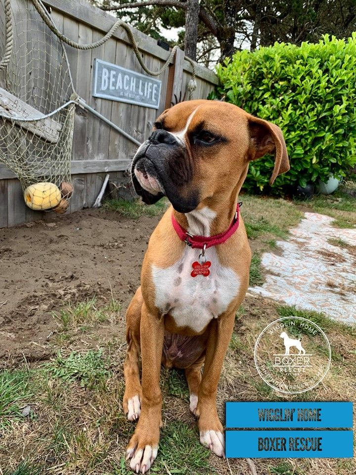 Caption this!! Does your dog have a look? Boxer rescue