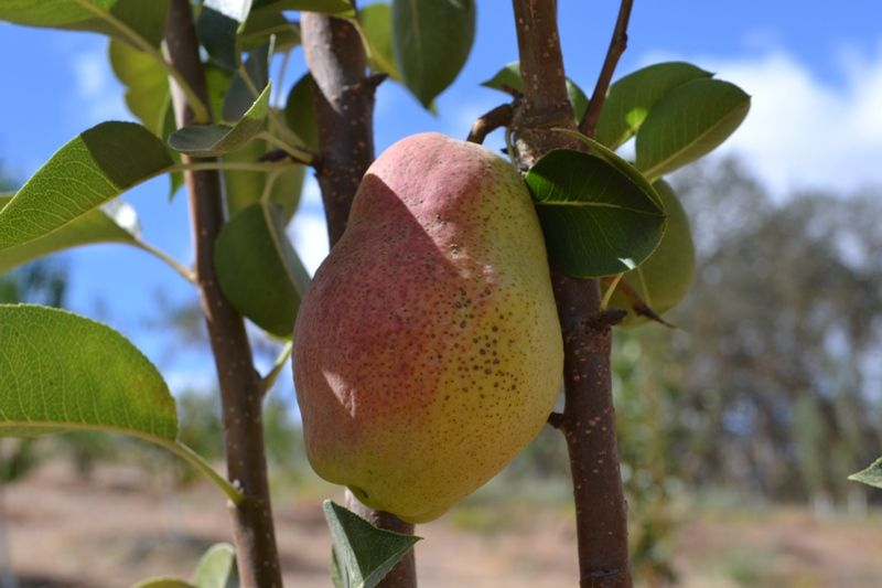 Heirloom Fruit Trees For Home Farm Trees Of Antiquity Rooted Organic Pear Pear Trees Fruit Trees