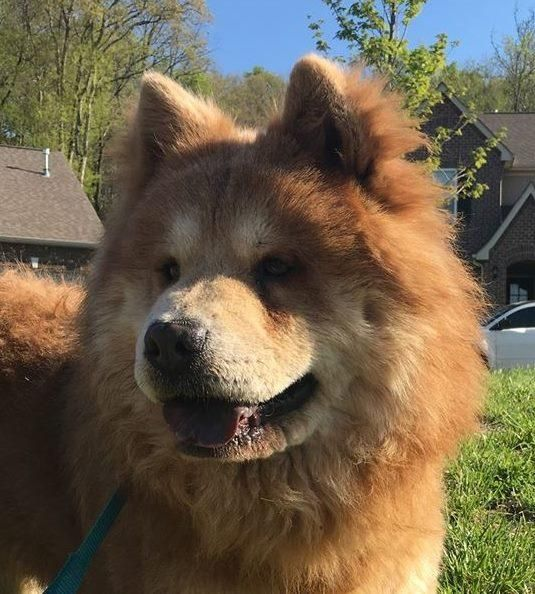 Adopt Bo On Chow Chow Dogs Adoption Pets