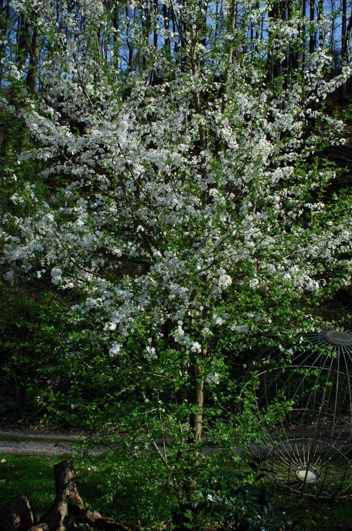 Weißblühende Gehölze im Frühjahr | Hecken, Gartenpflanzen und Sträucher
