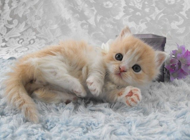 Pictures of Munchkin Cat Breed