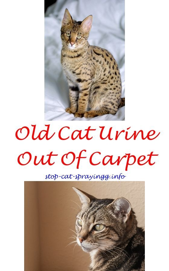 Cat Do Male Cats Spray If They Are Fixed Stop From Spraying Furniture Respiratory Nose Citrus For Fleas 9429442887
