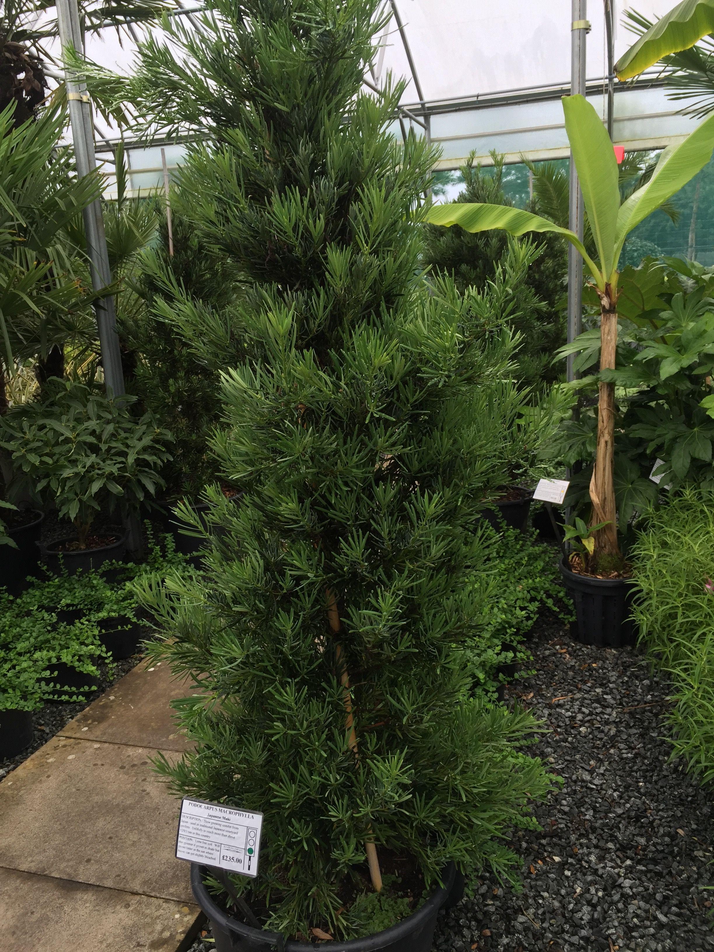 Podocarpus Macrophylla  Japanese Maki