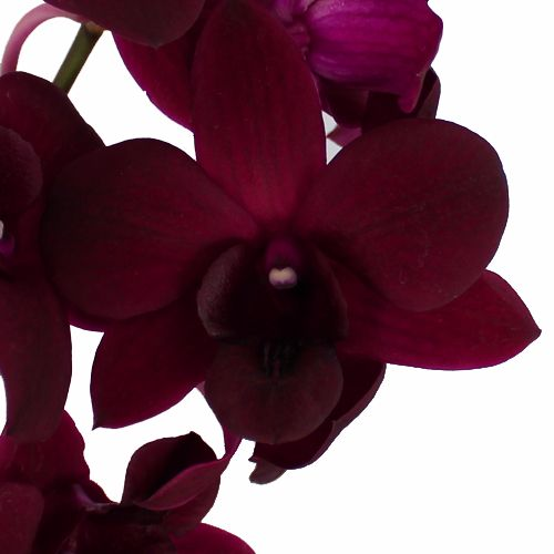 Burgundy Black Dendrobium Orchids Fiftyflowers Com Dendrobium Orchids Real Touch Wedding Flowers Orchid Flower